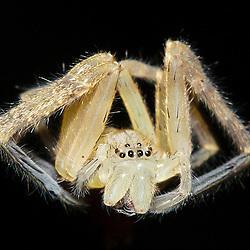 A freshly moulted spider in the rainforest of the Yasuni national park is hanging at night in mid air to dry its new skin- Eine frisch gehäutete Spinne hängt nachts im Regenwald des Nationalpark Yasuni in der Luft, um ihre neue Hülle trocknen zu lassen.