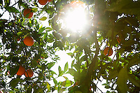 Sunlight breaking through orange tree