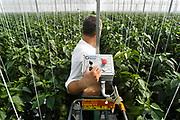 Nederland, Bemmel, 12-8-2011Begerden. Hier staan een tiental grote, nieuwe, hypermoderne tuinbouw bedrijven.Verregaand geautomatiseerd, deels biologisch en energie zuinig. Kastuinbouw, economie, innovatie, vernieuwing,computergestuurd.Poolse werknemers, arbeidskrachten, personeel, uitzendkrachten werken hier. In deze kas wordt paprika gekweekt. Arbeidsmigratie uit Polen, werkgelegenheid, arbeidsethos. personeelstekort, werkloosheid, CWIVaak worden zij geworven door een uitzendbureau, uitzendburo.Foto: Flip Franssen