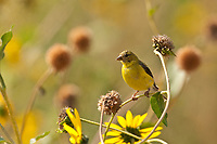 A female American Goldfinch feeds on the late summer sunflower seeds in northern Utah.