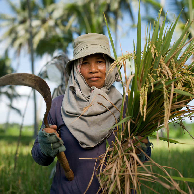 Winnowing rice in the rice paddies among the coconut trees in Luwus village of Bali. The woman is Bu Jro and she was getting one bag of rice (70kg) per each died of one eco size. (100 ecos to the hectare.)