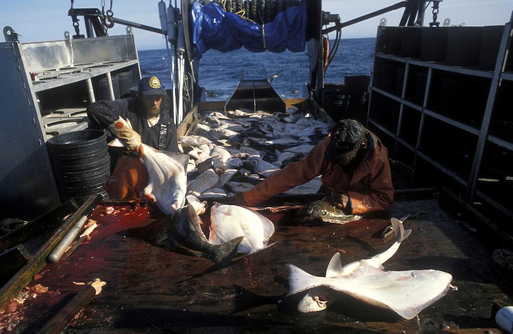 USA, Alaska, (MR) Crew of Mar del Norte guts fish during 24-hour halibut commercial fishing opening off Kodiak Island