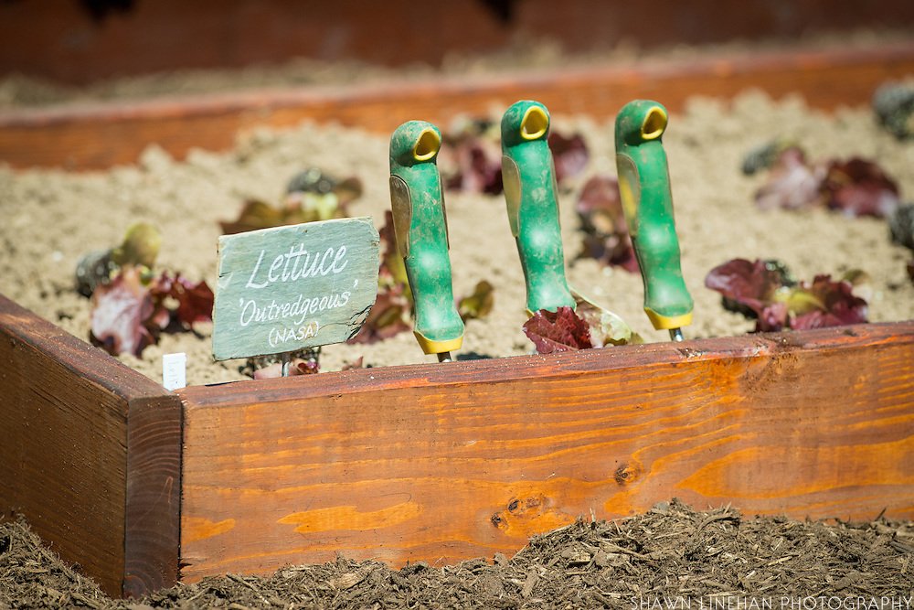 """""""Outredgeous"""" lettuce, the first lettuce grown in space by NASA and bred by Frank Morton of Wild Garden Seed in Philometh, Oregon is planting in the White House Kitchen Garden in 2016."""