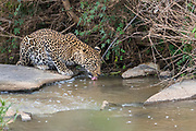 Leopard (Panthera pardus) drinking. Photo from Maasai Mara, Kenya.