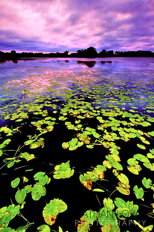 Lily Pad Sunset with purple skies.