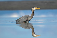 Great Blue Heron (Ardea herodias), Kye Bay, Courtenay, Vancouver Island   Photo: Peter Llewellyn