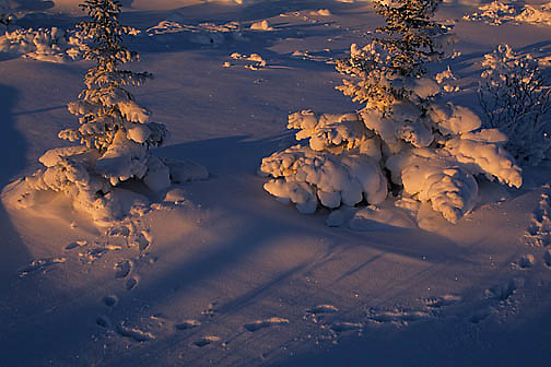 Black Spruce forest in late evening light near Churchill, Manitoba. Canada. Fox tracks through forest.