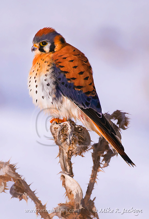 Artistic photograph by Mike R. Jackson of an American Kestral in winter. Artistic effects applied.