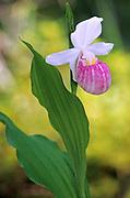 Showy Lady's Slipper (Cypripedium reginae) <br />Agassiz Provincial Forest<br />Manitoba<br />Canada