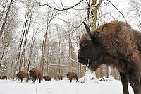 European bison (Bison bonasus) Bialowieza forest, Poland..European bison Bison bonasus, POLAND/BIALOWIEZA FOREST NATIONAL PARK, Europe's largest herbivore, weighing in at over 1,000 kilos, was once hunted as close to extinction as any animal can be - at one time there were only 13 of them left. Now, there are around 2,000 European bison back roaming in the wild, and another 2,000 in captivity. The Bialowieza forest, straddling the border between Poland and Belarus, is the area where the bison,  or Wisent, clung on and survived. Bialowieza is one of the very few remaining European old-growth broadleaf forests, and it is constantly threatened by logging interests.
