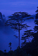 Blue dusk silhouette of a rainforest tree, Kerinci Seblat National Park, Sumatra.
