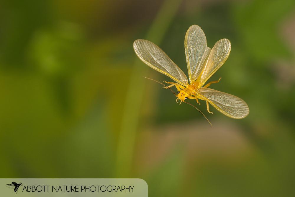 Stonefly (Perlesta sp.) flying<br /> United States: Alabama: Tuscaloosa Co.<br /> Tulip Tree Springs off Echola Rd.; Elrod<br /> 3-Jun-2016<br /> J.C. Abbott #2825 &amp; K.K. Abbott
