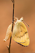 A set of 4 images of Large Salmon Arab butterfly, (Colotis fausta syn Madais fausta) as it emerges from its cocoon. The large Salmon Arab butterfly is a small butterfly of the Family Pieridae, which is found in Israel, Syria, Turkey, Iran, Afghanistan, India, Arabia, Chad and Somalia. Photographed in Israel
