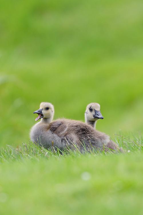 Canada Goslings, Somesville, Mount Desert Island, Maine