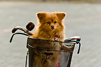 Dog in a bicycle basket, Zhenjiang, China