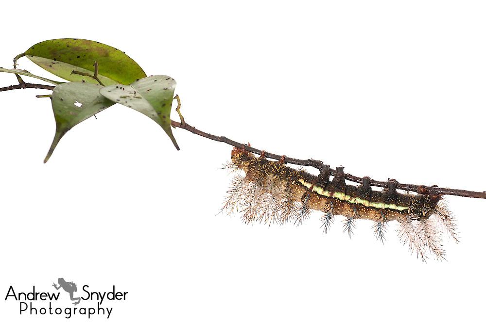 Automeris caterpillar - Potaro, Guyana