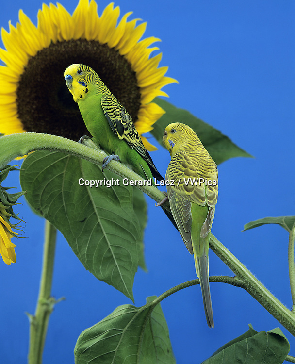 BUDGERIGAR melopsittacus undulatus, PAIR STANDING ON SUNFLOWER