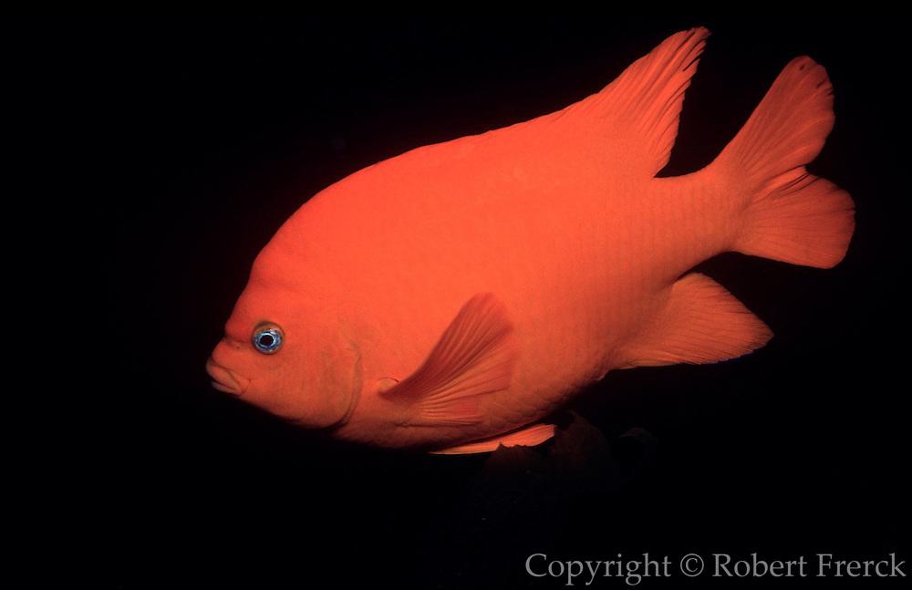 UNDERWATER MARINE LIFE EAST PACIFIC: Northeast FISH: Garibaldi Hypsypops rubicundus