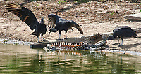 Black Vulture (Coragyps atratus) feeding on carcass of Caiman, Arraras Lodge, Pantanal, Mato Grosso, Brazil Photo by: Peter Llewellyn