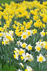 &copy; Licensed to London News Pictures.06/04/2018<br /> GREENWICH, UK.<br /> SPRING weather and daffodils at Greenwich Park,London.<br /> Photo credit: Grant Falvey/LNP