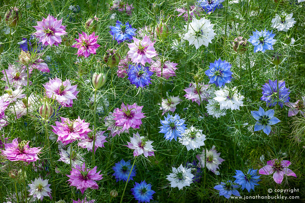 Nigella damascena 'Colour Mix'