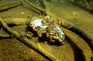 Rusty Crayfish eating a dead fish<br />