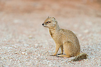 Yellow Mongoose, Kgalagadi Transfrontier Park, Northern Cape, South Africa