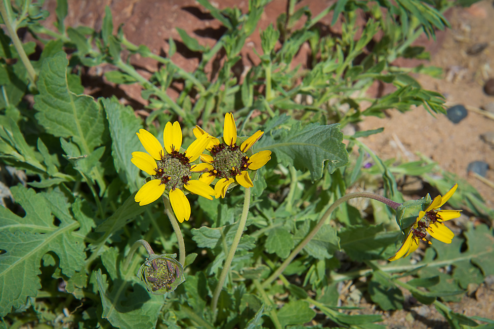 This wonderfully attractive one-inch, desert-loving daisy is found throughout much of the American Southwest where it blooms year-round as long as it doesn't come in contact with frost. Best seen in the morning hours, this local member of the aster family begins to droop in the midday heat. Want to know something amazing about this particular flower? It smells just like chocolate! These were photographed in the Chihuahuan Desert in rural Socorro County, New Mexico while I was searching to horned lizards.