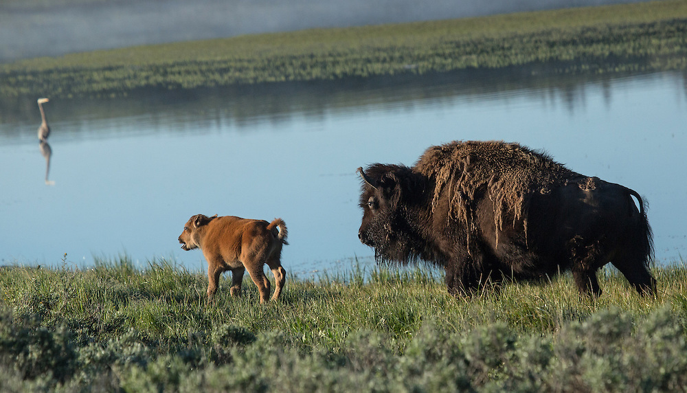 After a journey of over 100 miles, this bison cow and calf have finally reached their destination; Yellowstone's Hayden Valley where they will spend the summer months.