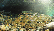 Coho Salmon (smolts)<br /> <br /> Paul Vecsei/Engbretson Underwater Photography