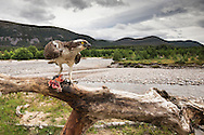Osprey (Pandion haliaetus) perched with fish - wide angle to show habitat - Glenfeshie, Scotland.