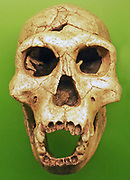 Homo erectus, extinct hominid living between 1.6 million and 250,000 years ago. Homo erectus is thought to have evolved in Africa from H. habilis, the first member of the genus Homo. Anatomically and physiologically, H. erectus resembles contemporary humans except for a stouter bone structure. The size of its braincase (850-1000 cc), approaches that of H. sapiens, but the cranial bones are more massive than either those of H. habilis or modern humans.H. erectus dispersed into Asia more than 1.3 million years ago, and into Europe by at least 400,000 years ago. Fossils of this species were first discovered in 1891 by French anatomist Eugene Dubois in Java.