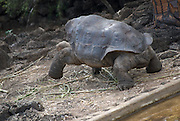 """Formerly known as the World's rarest creature, Lonesome George was the last of the """"Chelonoidis nigra abingdoni"""" species of giant tortoise from Pinta Island, Galápagos.<br /> He was believed to be over 100 years old, and he weighed 200 lbs.<br /> <br /> R.I.P.<br /> 24 June 2012."""