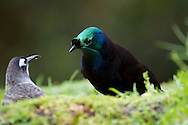 Ribbon-tailed Astrapia and Belford's honeyeater, Papua Guinea