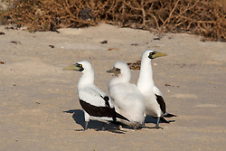 A family of Masked Boobies (Sula dactylactra) on the Lacepede Islands, to the northwest of Broome.  The Lacpedes are an import bird and turtle nesting site.