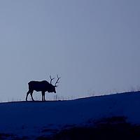 Big Game Animal Photographs