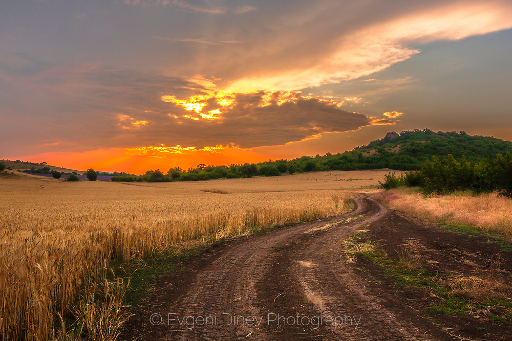 Dirt road in field of wheat