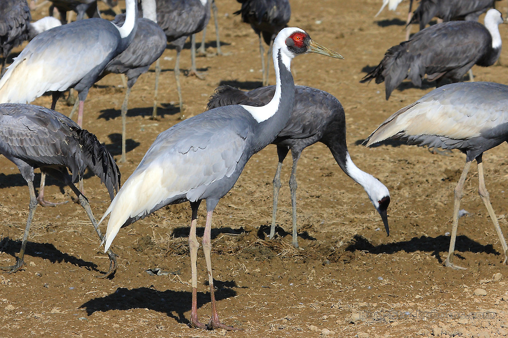White-naped Crane, Grus vipio, Japan, by Glen Valentine
