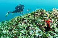 Starfish-Etoile de mer (Echinaster sepositus) of Méditerranée.