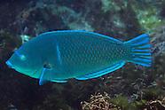 Anampses caeruleopunctatus (Blue-Spotted Wrasse)