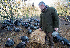 Turkey farmer gears up for Festive rush, Dumfries, 27 November 2018
