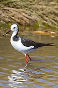 Juvenile stilt at estuary, Kaiteriteri, New Zealand