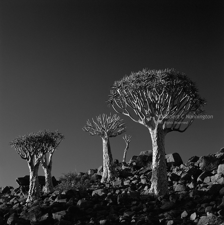 The almost surreal texture and form of the Kokerboom lends itself to the monochromatic medium. Keetmanshoop Quiver Tree forest, Namibia.