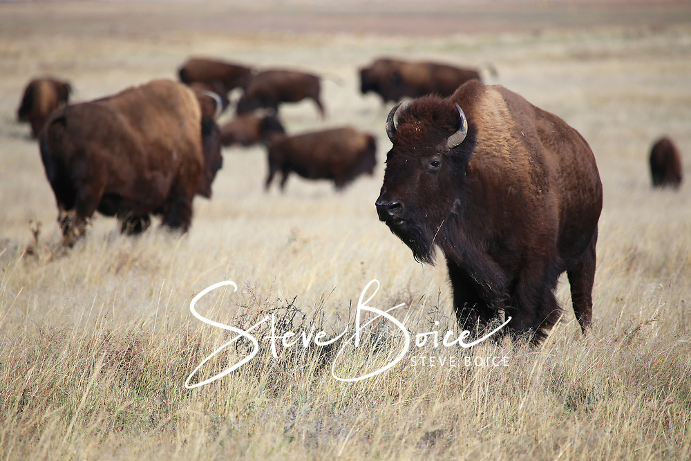 WildAmerican Bison on the Colorado Great Plains
