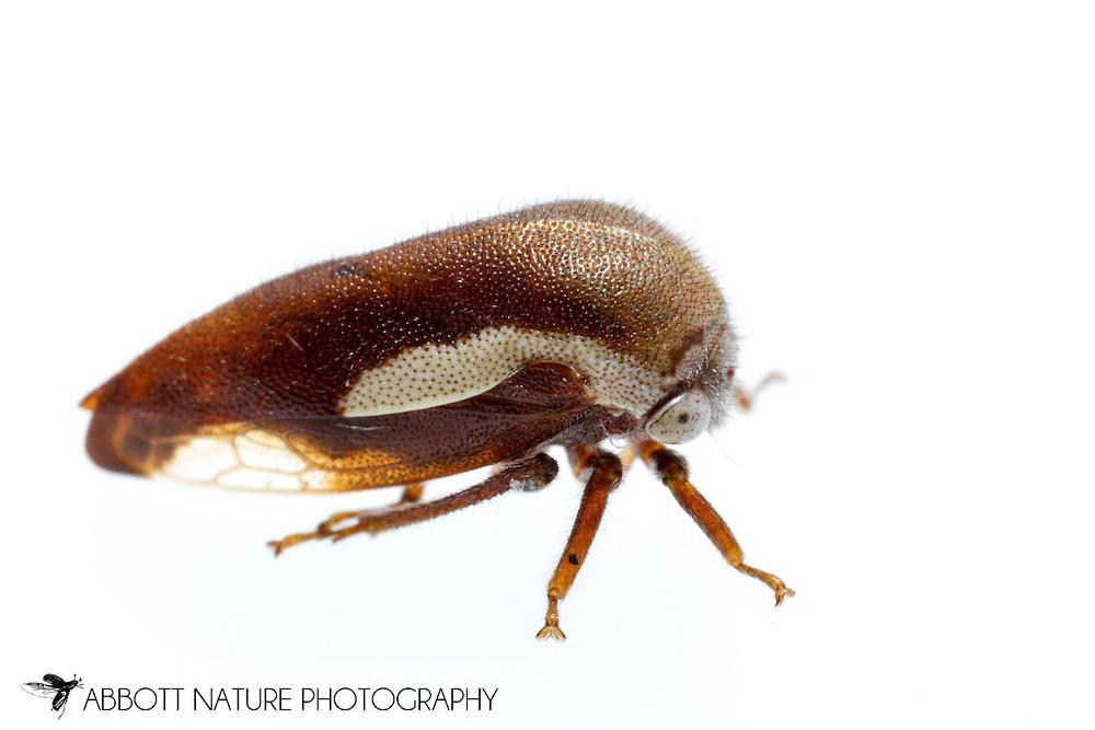 Treehopper (Ophiderma flavicephala)<br /> TEXAS: Jasper Co.<br /> Brookeland/Lake Sam Rayburn @ 505 Co Rd 212<br /> 10.June.2015<br /> J.C. Abbott #2739 &amp; K.K. Abbott