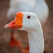 Closeup of goose - Riparian Preserve, Gilbert, AZ