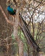 An indian peacock perches in a tree, tail feathers trailing below, Tamil Nadu, India.