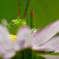 Alberto Carrera, Grasshopper, Guadarrama National Park, Segovia, Castilla y León, Spain, Europe.