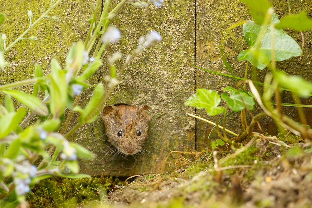 Bank Vole (Clethrionomys glareolus) adult, emerging through knot-hole in fence South Norfolk, UK. June.