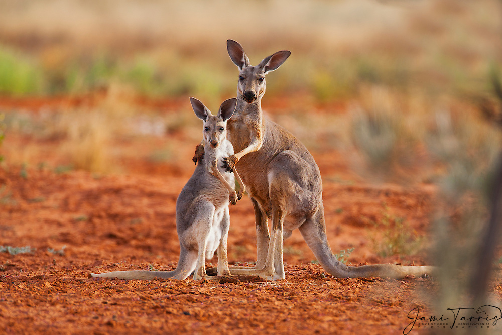 A female red kangaroo holds her juvenile joey while he ...